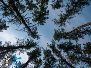 Copas de los árboles desde el interior del bosque de Oma